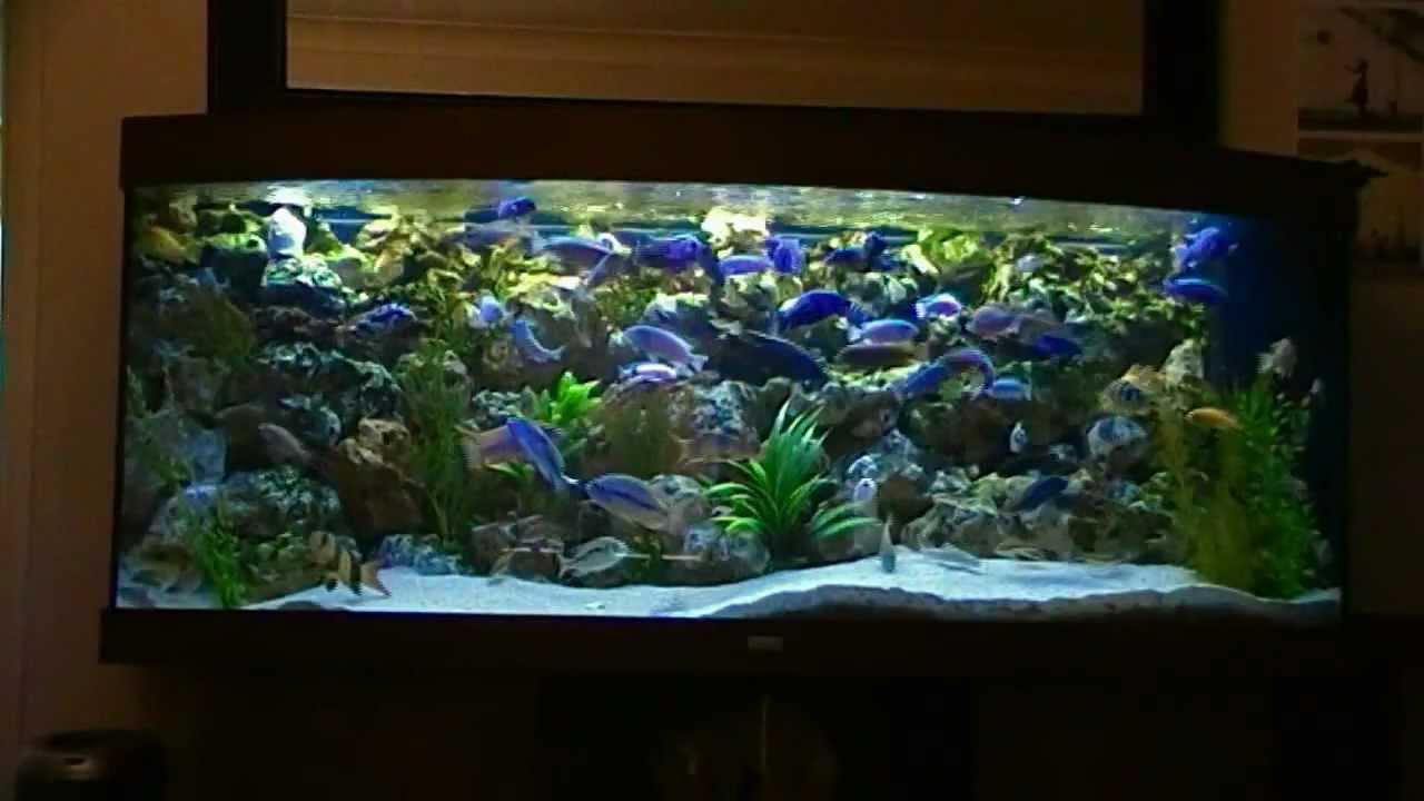 African malawi cichlid fish tank aquarium 450l phase 2 for Cichlid fish tank