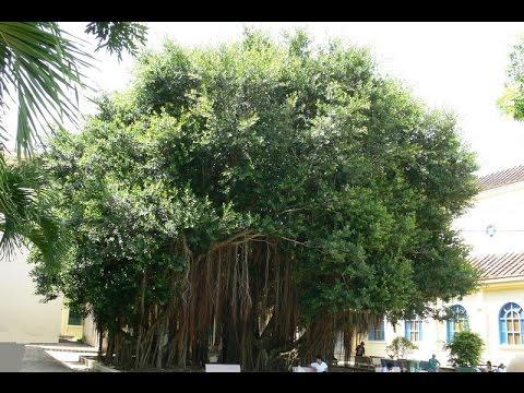 Cây Si - Cây Gừa