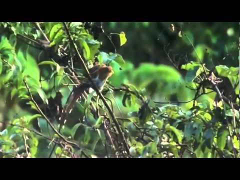 Thế giới động vật - Loài đại bàng ăn thịt khỉ vùng Orinoco, Venezuela