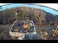 Stockton lake osprey Stockton Missouri 3 21 16 750pm Fish mating attempt intruder alert
