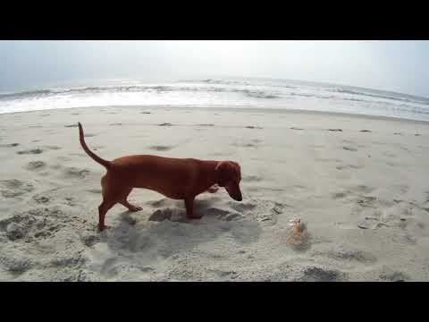 Madeline Dachshund Puppy Plays with Crab