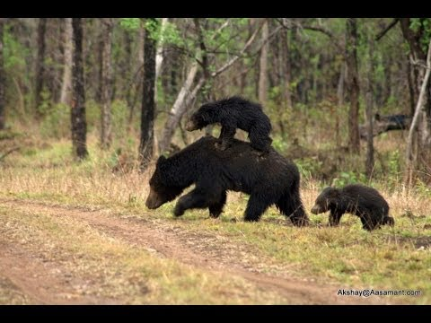 Animal YALA  wild Bear follow animals safari topten@world