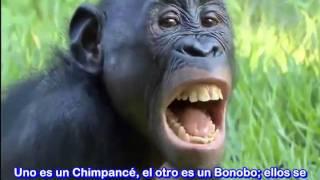 Antenas Mallorca Reparacion, Instalacion - Telf. 871 70 57 56 - Antenistas Palma de Mallorca -  Los chimpancés pigmeos también fabrican herramientas