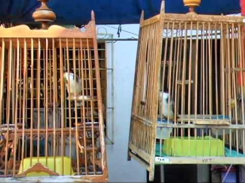 Jambul - SOLD (both birds) Fierce keke/play (Effects of new bird food)