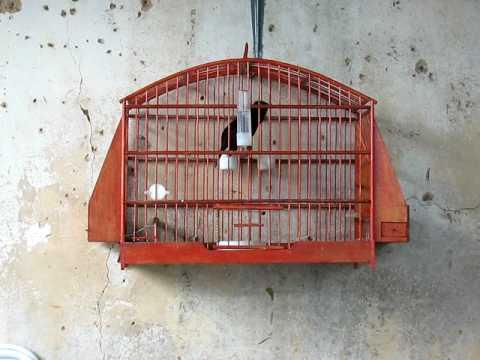 Pássaro Preto Cantando Trinca Ferro
