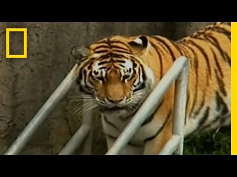 Zoo-Tiger Escape