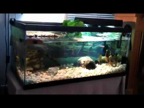 turtle tank (40 gallon breeder) with baby turtles HD - YouTube
