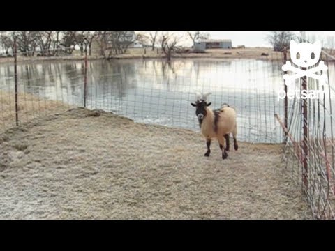 Goat slides on thin ice
