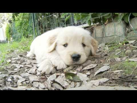 Golden Retriever Puppy Crossing Her Legs Like A Lady,