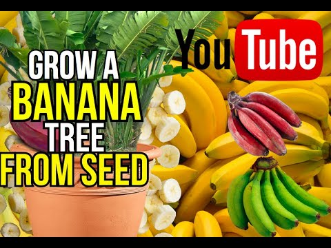 how to grow a banana tree from seed youtube. Black Bedroom Furniture Sets. Home Design Ideas