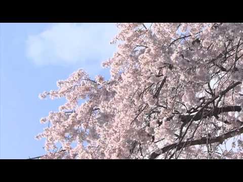 Du lịch Nhật Bản, ngắm hoa anh đào - Kyoto