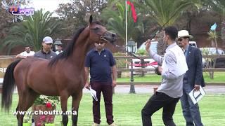 روبورتاج: تنظيم المسابقة الجهوية لجمالية الخيول العربية الأصيلة ببوزنيقة | روبورتاج