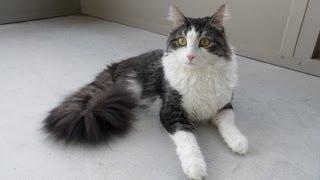 Kucing ini hanya mempunyai dua kaki