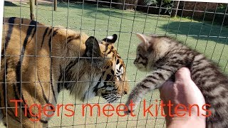 Tigers reaction to the kittens