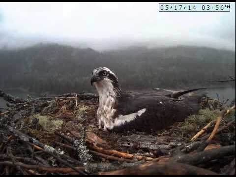 Nelson Osprey cam May 16 14
