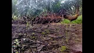 Ayam Hutan Pikat Betina 35 view on youtube.com tube online.
