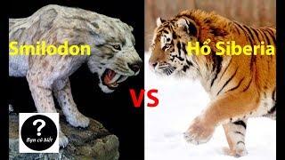 Smilodon vs Hổ Siberia, con nào sẽ thắng #36 || Bạn Có Biết?