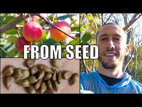 How To Grow An Apple Tree From SEED to FRUIT