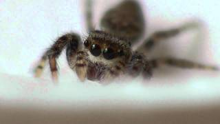 Cute Little Jumping Spider Drinking Water-Kitty Cat