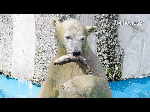 ホッキョクグマたちの朝ごはん~Polar Bears are eating
