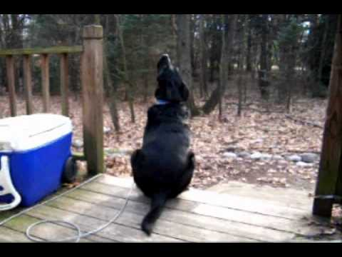 Dog Howling at Tornado Siren, This is my dog Lucky. Every first Saay of the month the city tests the tornado sirens at 1:00 pm. If Lucky is outside at the time, he breaks into song. T...