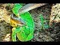Snake (Female Boomslang) Hunts Chameleon - Latest Wildlife Sightings