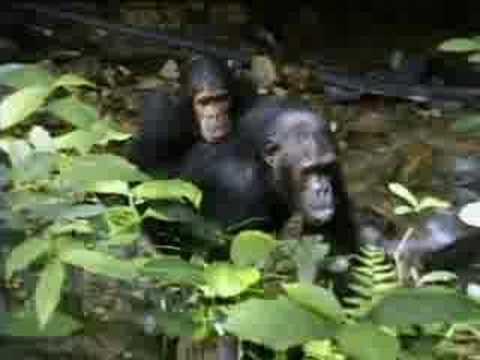 Complex Mating Rituals Of Chimpanzees In The Jungle Bbc