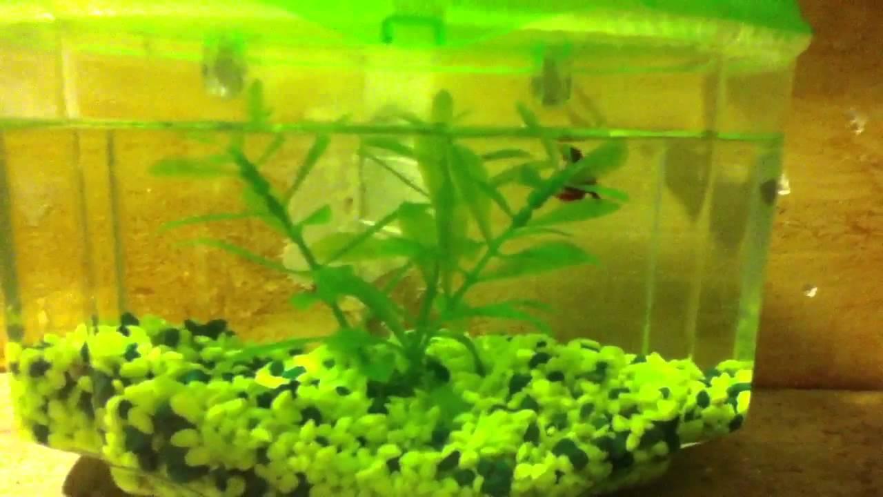 My betta fish has swim bladder youtube for Betta fish swim bladder