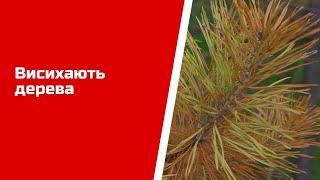 У лісах на Луганщині висихають дерева