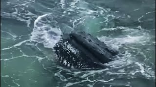 BBC: Humpback Whales feeding on Krill