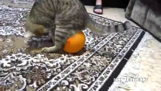 [Cat, baloon and electrostatics (Kedinin elektriklenmis balon...] Video