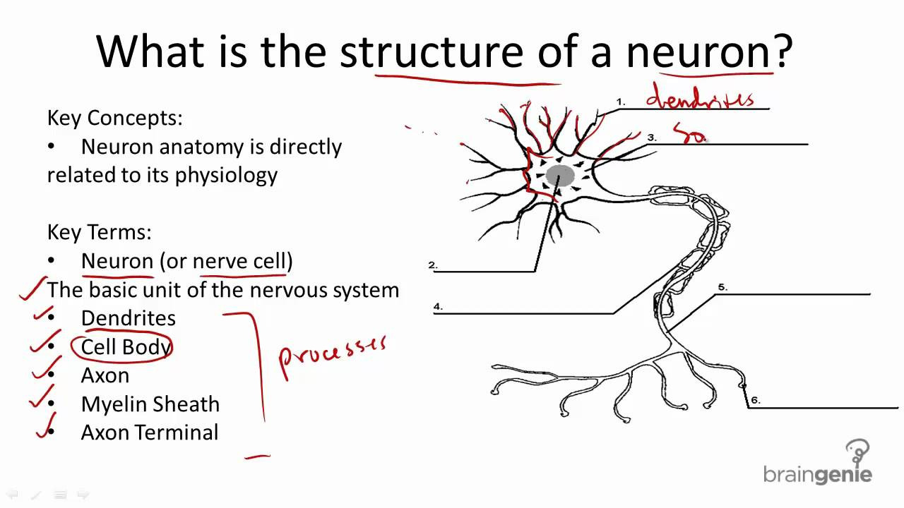 8 1 3 nerve cell structure and function