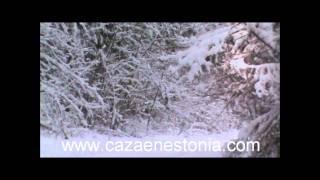 Batidas De Jabalíes En Estonia