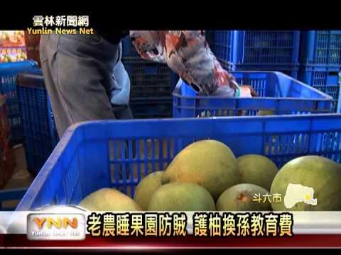 雲林新聞網-斗六文旦果農睡果園護柚