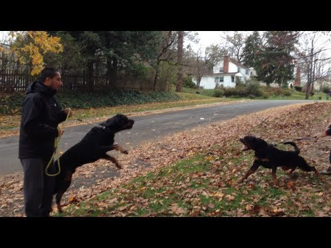 0 Training Of Rottweiler Puppies