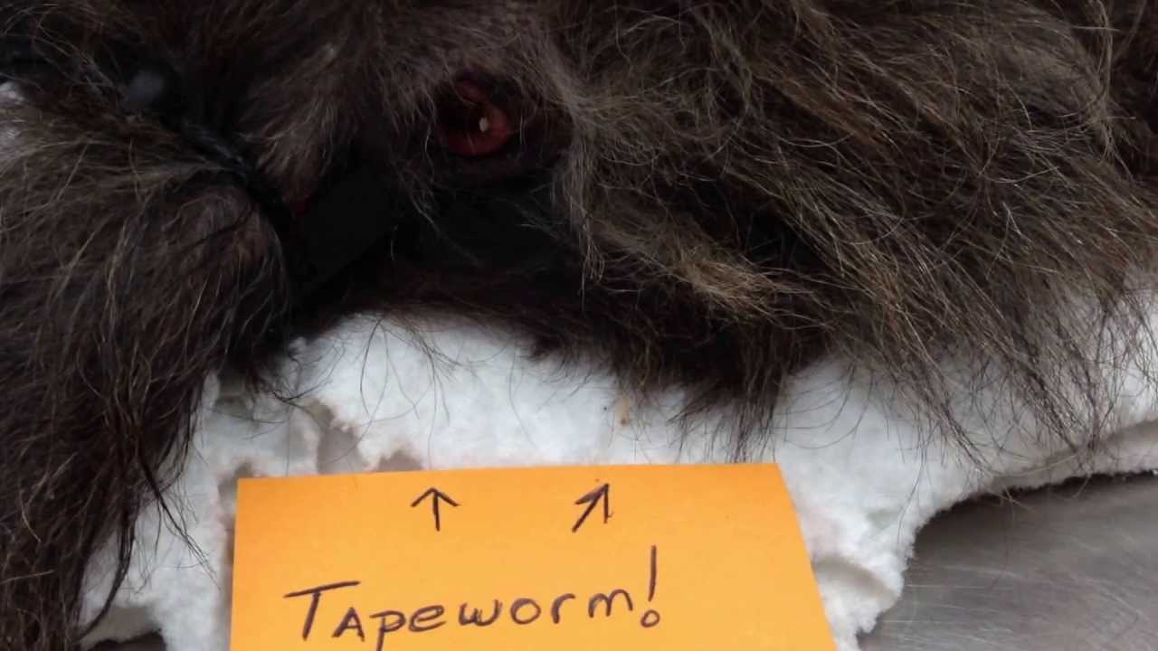 How Do Worms In Dogs Look Like