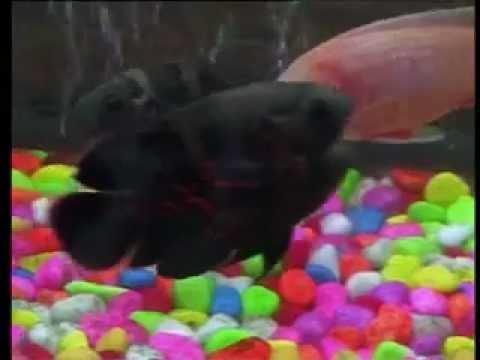محلات أسماك الزينة/سوريا /حماه, مسمكة عادل غالب المليح /جميع انواع أسماك الزينة ومستلزماتها /أحواض جاهزة وتفصيل/ سوريا /حماه/ساحة العاصي : جوال 0096948838608