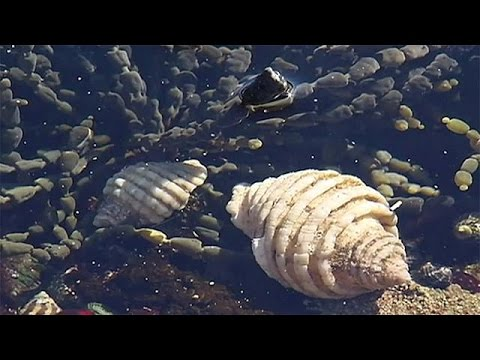 حلزون البحر والسرطان
