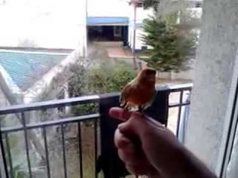 Canary bird singing in my hand