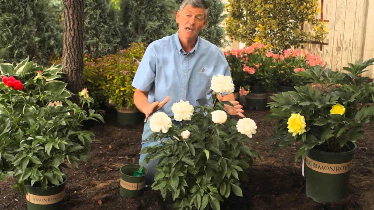 How To Fertilize Trim Peonies In The Spring Garden