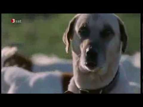 Brochure about Turkish shepherd dog -- Kangal / The Kangal Dog Club ...