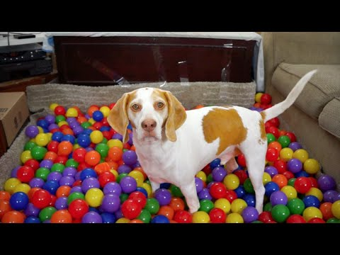 Best Dog Birthday Surprise: DIY Ball Pit for Maymo