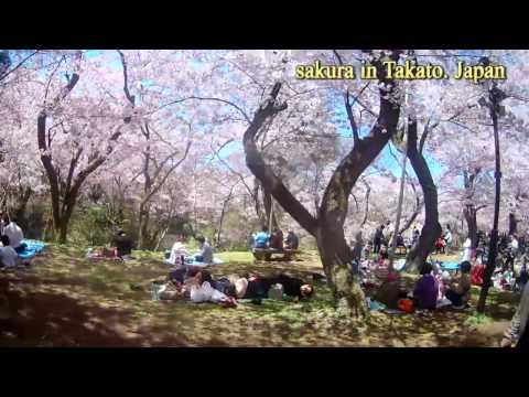 Thực tập sinh việt- lễ hội hoa anh đào nhật bản ( sakura in takato japan)