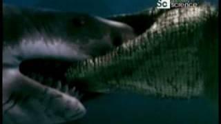 Duelo Animal Cocodrilo Marino Vs Gran Tiburón Blanco