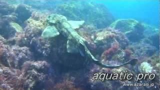Wobbegong Shark3