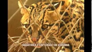 Jaguatirica � capturada em s�tio no Sul de Minas