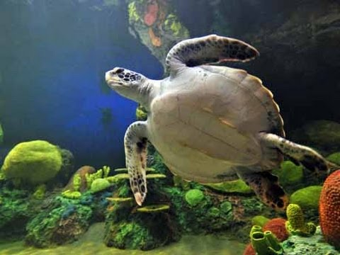♥♥ Giant Sea Turtles in Coral Reef (3 hours)