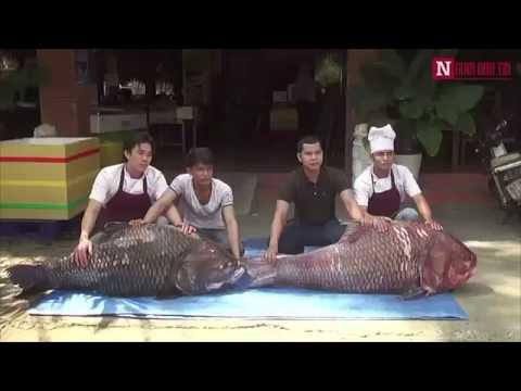 """Cặp cá hô """"khủng"""" bơi về Hàng Dương Quán"""