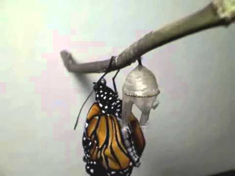 Queen Butterfly Emerging From Chrysalis
