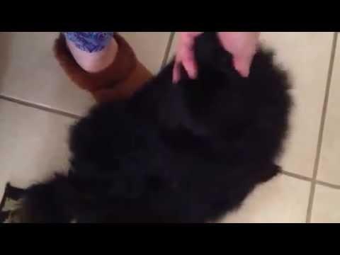 Princess Zena! Big pregnant belly!!  Teddy bear Pomeranian